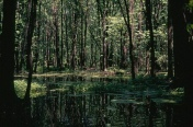 Forested wetlands are one of many habitats at Iroquois National Wildlife Refuge.