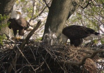 Bald eagles hanging around the nest.Credit: USFWS