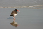 American oystercatchers (pictured) and piping plovers breed in marine habitats that are vulnerable to sea-level rise. Credit: USFWS