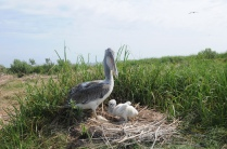 A brown pelican with a chick in tow! Credit: USFWS