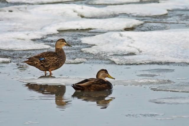 Black ducks at Bombay Hook National Wildlife Refuge. Credit: Tim Williams
