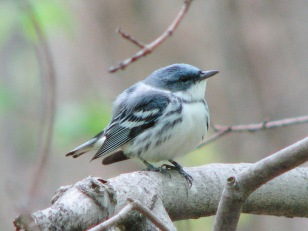 Cerulean warbler. Photo from Flickr Creative Commons, user Petroglyph.