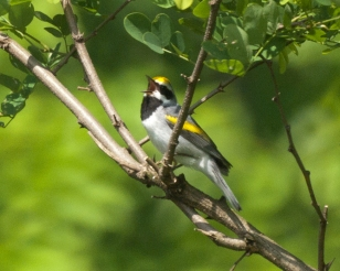 Golden-winged warbler. Photo from Flickr Creative Commons, user Shell game.