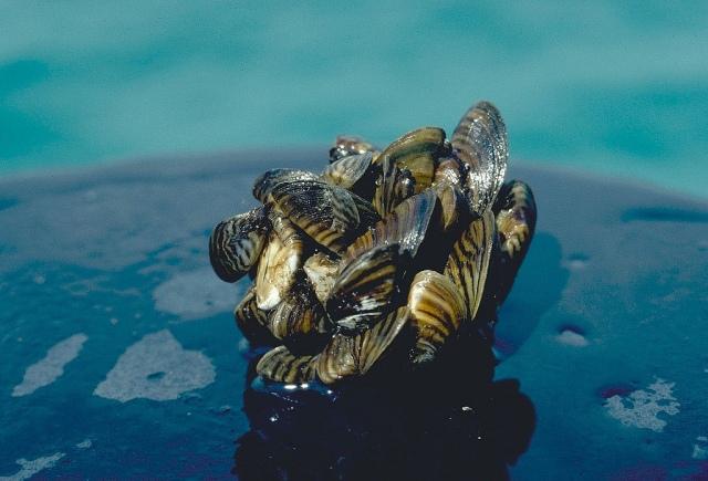 A cluster of invasive zebra mussels! via NOAA / D. Jude