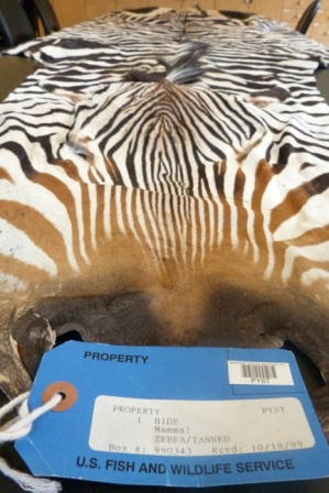 A confiscated zebra hide. In visitor centers, these items help educate visitors about wildlife trafficking.