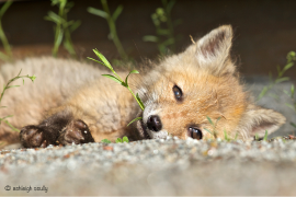 Ashleigh's photo of a red fox kit at Great Swamp National Wildlife Refuge. Copyright by Ashleigh Scully.