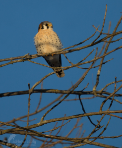 Ashleigh's photo of an American kestrel at Great Swamp National Wildlife Refuge. Copyright Ashleigh Scully.