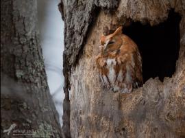 Ashleigh's photo of a rufous morph of an eastern screech owl near her home. Copyright Ashleigh Scully.