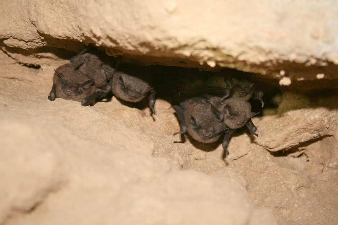 Hibernating Indiana bats (Myotis sodalis). Credit: USFWS/Ann Froschauer