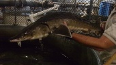 The Atlantic sturgeon (Acipenser oxyrinchus oxyrinchus) is a long-lived, estuarine dependent, anadromous fish that can grow to 14 feet long and weigh up to 800 pounds. Similar in appearance to shortnose sturgeon, they are bluish-black or olive brown with white bellies and rows of scutes (horny plates). Overharvest historically led to widespread declines in their abundance, but current threats include bycatch of sturgeon in fisheries targeting other species, habitat degradation and loss from human activities, inability to access habitat from locks and dams, and ship strikes. In the Gulf of Maine, this fish is protected as threatened. via: USFWS