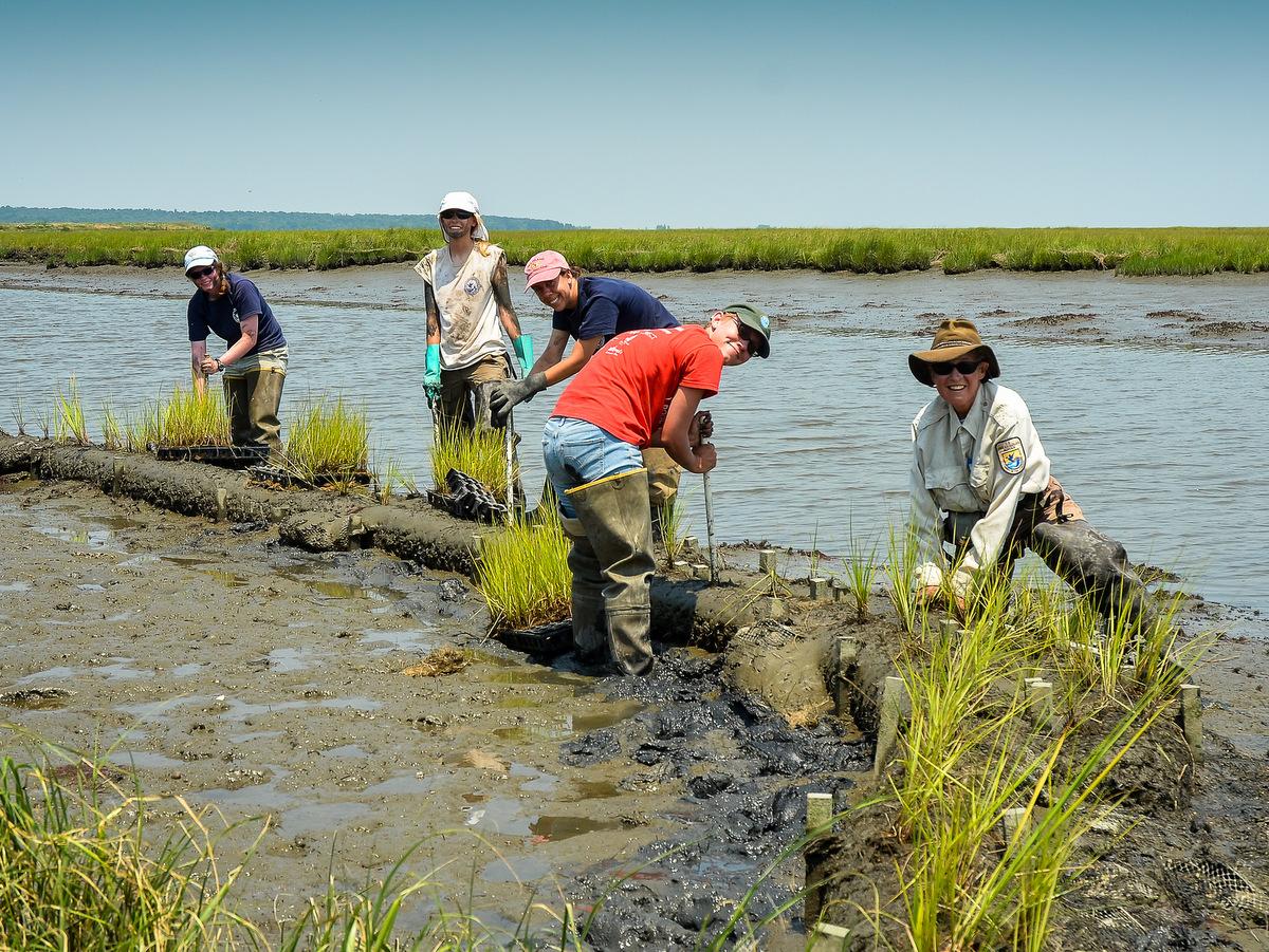 Staff and volunteers restoring tidal marsh at Edwin B. Forsythe National Wildlife Refuge.