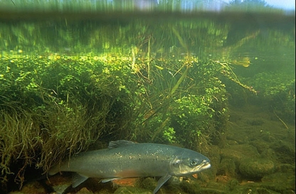 Atlantic salmon (Salmo salar), once the royalty of Maine sport fish, are now an endangered species and represent the last wild populations in the U.S. Their numbers declined because dams and culverts block access to their spawning areas and their ocean survival has been greatly reduced for unknown reasons. Other threats include predation and competition from non-native fish, degraded water quality, and pollution. They still occur in small numbers in most of the state's major river systems. The Service works with many groups to replace culverts and improve fish ladders to give salmon access to spawning areas. The Penobscot Restoration Trust is removing dams on the Penobscot River to restore passage for salmon and other anadromous fish. via USFWS