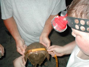 Cape May National Wildlife Refuge hosts annual nighttime horseshoe crab tagging events on Kimbles Beach. Credit: USFWS.