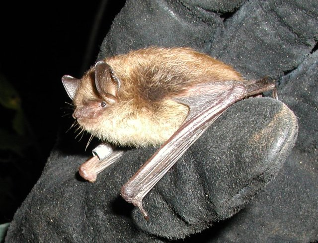 A banded little brown bat. The small wing band is used to uniquely mark an individual so that it can be identified if it is observed again in the future. Credit: Vermont Fish and Wildlife Department