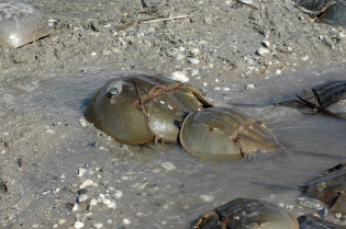 The eggs of mating horseshoe crabs at Delaware Bay will sustain thousands of migrating shorebirds on their long trips to the Arctic. Credit: Gregory Breese/USFWS