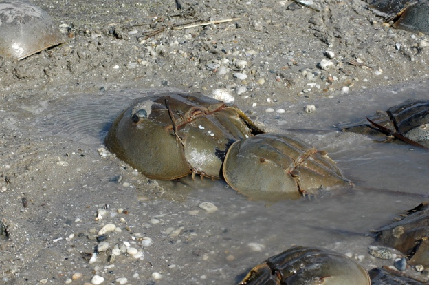 Beach restorations along New Jersey's Delaware Bay will help horseshoe crabs spawn in early May.