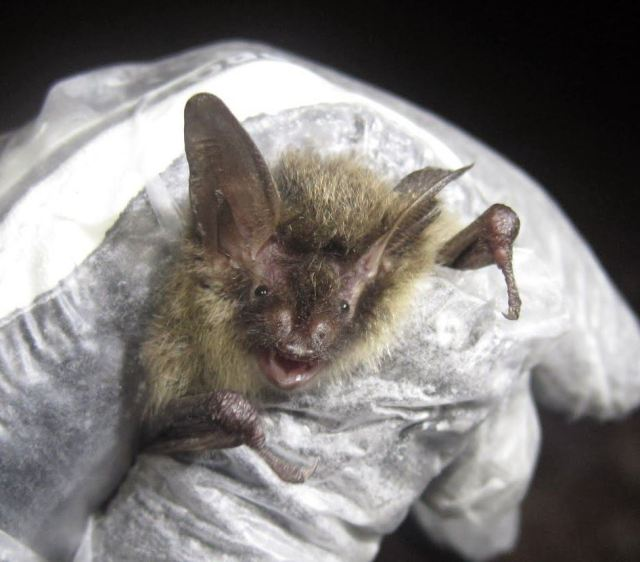 A now rare northern long-eared bat captured during a fall swarm survey in southern Vermont. How can you help but love that face? Credit: Vermont Fish and Wildlife Department
