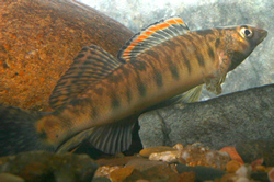 The Roanoke logperch (Percina rex) is a small fish growing to 5 inches in length that feeds on invertebrates by flipping stones on the stream bottom with its snout. It occurs in 13 populations in widely separated segments of the upper Roanoke, Pigg, Nottoway and Upper Dan rivers. The logperch has strongly patterned fins, a prominent bar below the eye and 8 to 11 vertical bands on its sides. Massive loss of Roanoke logperch habitat has occurred due to construction of the large impoundments of the Roanoke River Basin in the 1950s and 1960s, which resulted in major disruptions in the ability of this species to move throughout its historic range. Biologists are working to protect its habitat by reducing upland runoff into rivers. via USFWS