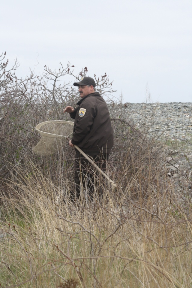 Wildlife biologists Chris Dwyer searches for common eiders on Boston Harbor Islands. The American race breeds on islands from the southcentral coast of Labrador to Massachusetts and winters from Newfoundland to New York. Thousands from Maine and eastern Canada overwinter at Cape Cod and Nantucket Sound. Credit: USFWS