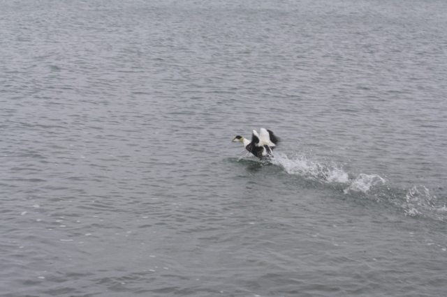 Common eiders are a keystone species for Cape Cod. Their status illustrates the status of other seabirds and the overall Cape Cod Bay. They are a focal species for the Atlantic Coast Joint Venture, which seeks to increase understanding of the species distribution/abundance and ensure high-priority actions are taken to benefit the species and subsequently other Atlantic sea ducks. Credit: USFWS