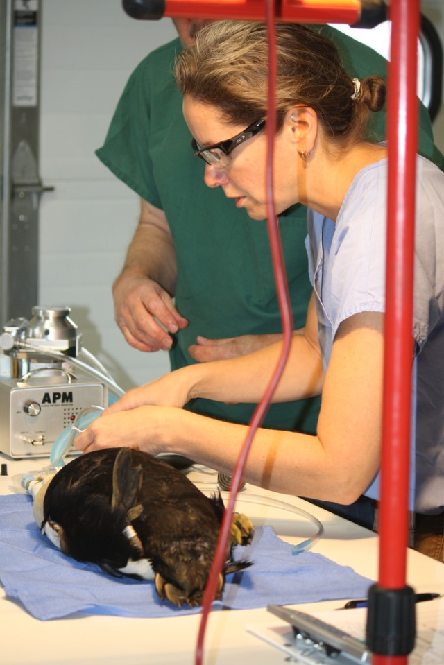 Dr. Samantha Gibbs prepares a common eider to get implanted with a radio transmitter. Information will show where the birds are traveling and may help determine what area is exposing them to the virus. Credit: USFWS