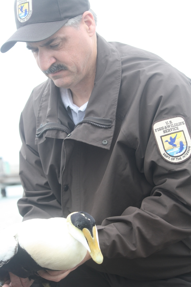 Wildlife biologist Chris Dwyer about to release a common eider after it was transplanted with a radio transmitter. Credit: USFWS