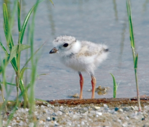 Piping plovers breed on the shores of the northeast, and are extremely endangered.  via USFWS