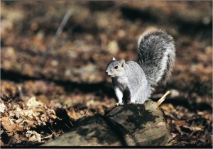 Pictured here, Delmarva fox squirrel can easily be mistaken for its cousin, the eastern gray squirrel, but the former has a bushier tail. via USFWS.
