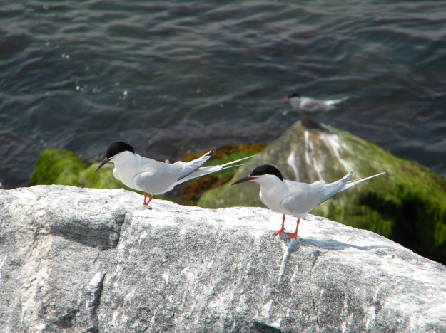 The northeastern population of the roseate tern is listed as endangered. Credit: Sarah Nystrom/USFWS
