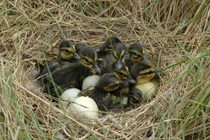 American black ducklings nesting in coastal marsh. Credit: Peter McGowan/USFWS