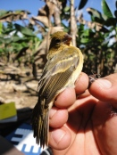 Some yellow warblers winter in Belize and return to New England in the summer to breed. Photo courtesy of Belize Foundation for Research and Environmental Education.