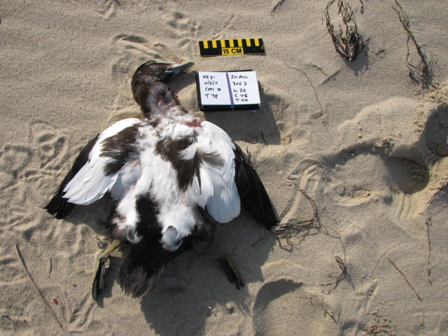 Photo of a dead common eider on Cape Cod from our partner SEANET. http://seanetters.wordpress.com/2011/10/18/common-eiders-are-at-it-again-dying-i-mean/