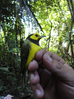 The hooded warbler winters in Belize and summers as far north as the mid-Atlantic.