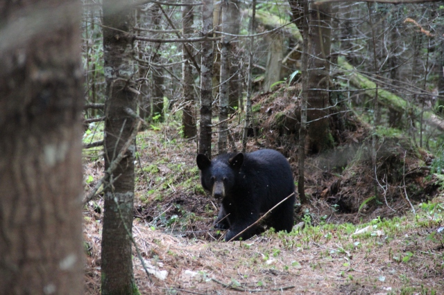 This photo is from when we originally captured the bear. Photo courtesy of Jonah.