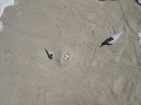 Tern figures with eggs in the shorebird nesting exhibit. Credit: USFWS