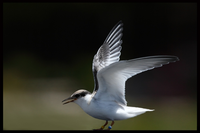 A juvenile least tern spreading its wings. If it was an actor its name would be Bird Pullman and it would star in this movie. Credit: Alan Varnon via Flickr