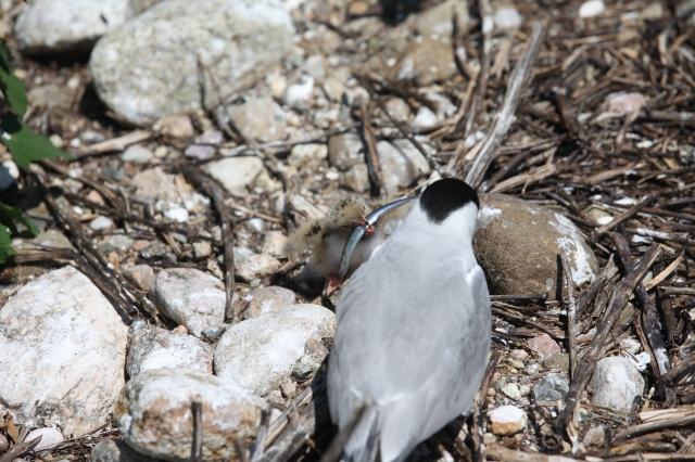 A tern and its chick eating seafood! Also guys, guess what. I took this picture! This is the first picture I took to be featured on my own blog! Hurrah! via Tom Barnes/ / USFWS