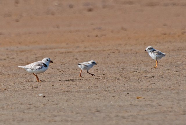 A juvenile piping plover, and mom's running after it. Classic. via USFWS