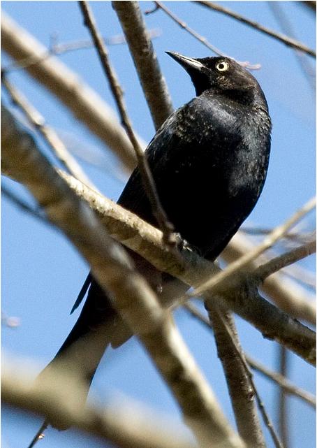 Rusty blackbird. Copyright Rachel Holzman.