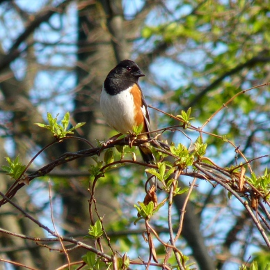 You can find eastern towhees in brush, tangles, thickets and along forest edges. Photo from Flickr Creative Commons user John Beetham. https://www.flickr.com/photos/dendroica/14018896326