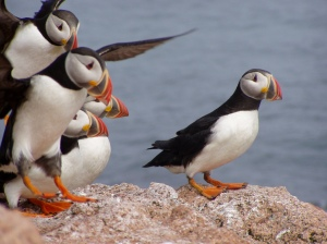 Puffins face threats from cliamte change, as well as habitat loss. Credit: USFWS