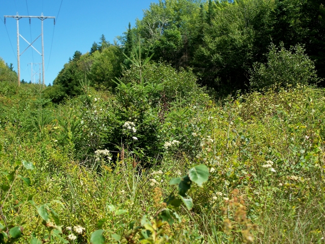 In order to access, maintain and repair electric power lines, vegetation along rights of ways must be managed to prevent interference. This allows them to remain in a shrubby state over long periods of time. Photo from Flickr Creative Commons user mwms16 https://www.flickr.com/photos/mmwm/7926162740
