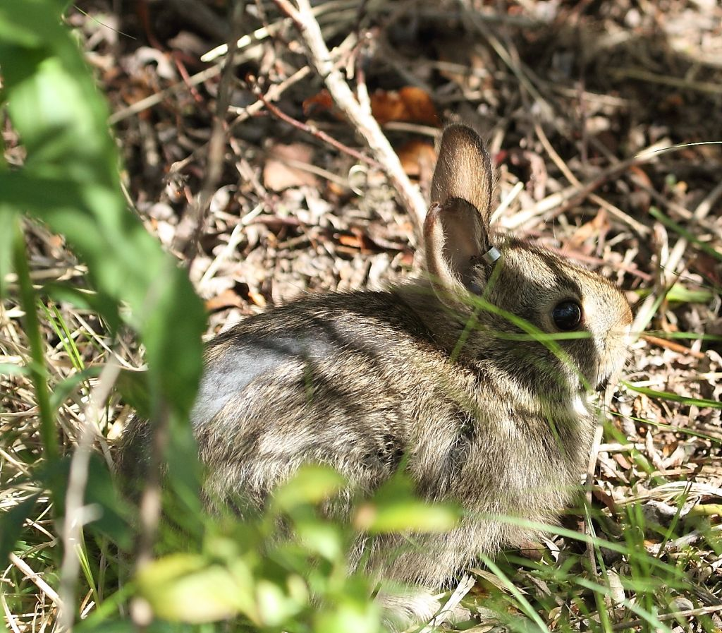 New England cottontail. Credit: Peter Paton