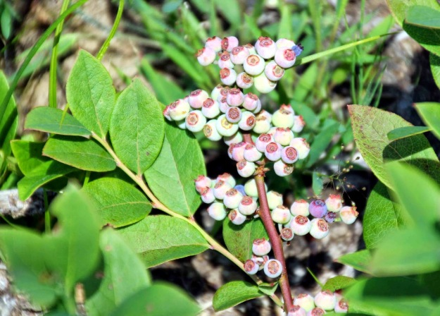 Much of ground cover is lowbush blueberry. Photo courtesy of Beth Sullivan, Avalonia Land Conservancy.
