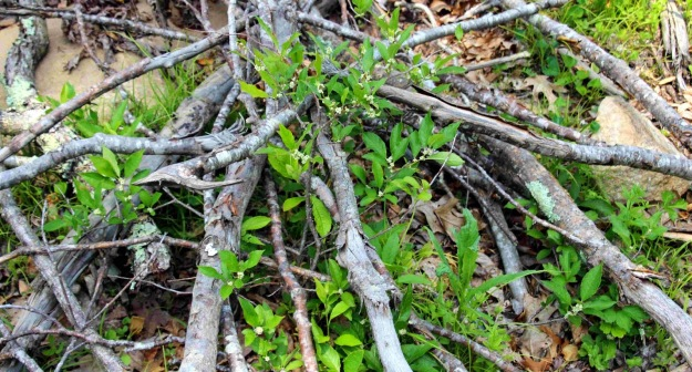 Native shrubs grow up through protective branches. Photo courtesy of Beth Sullivan, Avalonia Land Conservancy.