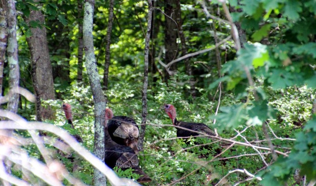 Turkeys forage in the open and retreat to woodland edge. Photo courtesy of Beth Sullivan, Avalonia Land Conservancy.