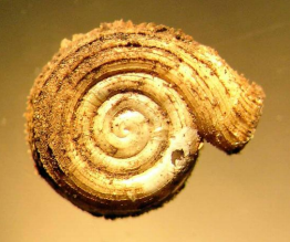 The shell of a Virginia fringed mountain snail. Photo courtesy of Ken Hotopp.