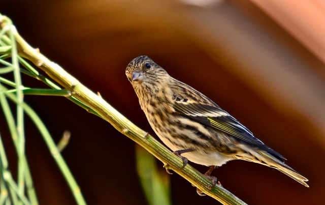 Last year the crew caught a pine siskin but did not band it because it is not one of the targeted species. Photo from Flickr Creative Commons user Linda Tanner.