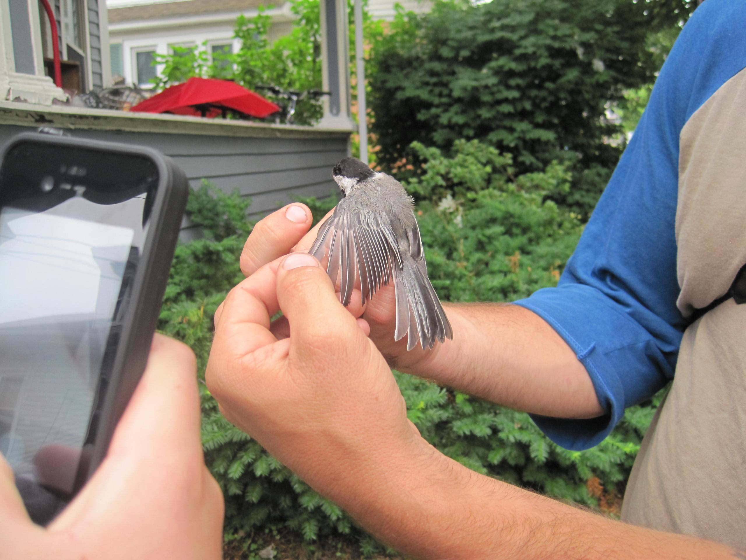 Measuring a chickadee captured in a mist net in my neighborhood. Photo courtesy of Beth.