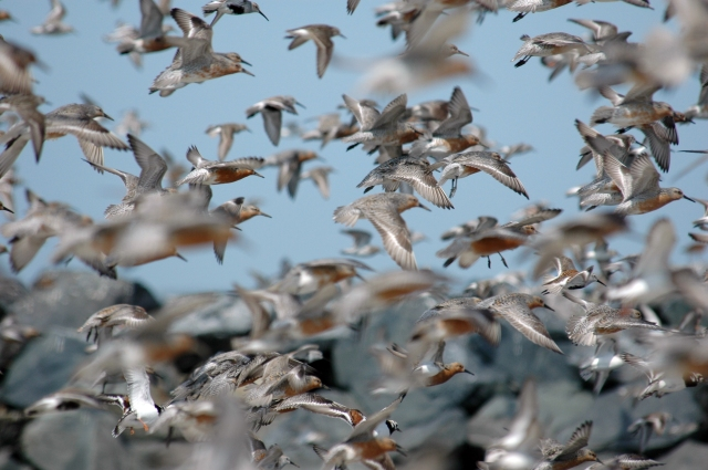 Roughly one million shorebirds pass through the Delaware Bay in the spring, when the largest population of horseshoe crabs in the world turns up to spawn. The largest concentration of red knots can be found in the bay at this time. This photo captures knots at Mispillion Harbor. Credit: Gregory Breese/U.S. Fish and Wildlife Service